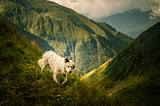 Portrait of a shepherd dog in a Carpathian landscape