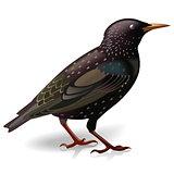 Vector Starling