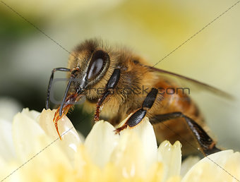 Bee looking for sweet