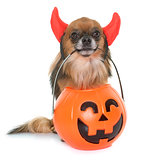 halloween pumpkin and chihuahua