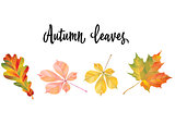 Illustration with different autumn leaves. Oak, chestnut and maple leaves isolated on white background. Vector Illustration