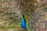 Indian peacock Close-up