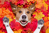 autmn fall leaves surprised dog