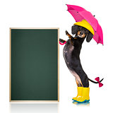 sausage dachshund umbrella rain dog
