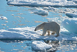 Big polar bear on drift ice edge .