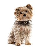 Yorkshire Terrier sitting, isolated on white