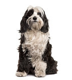 Tibetan Terrier sitting, isolated on white