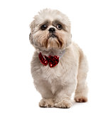 Shih Tzu standing with a bow tie, isolated on white