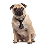 Pug sitting with a tie, isolated on white