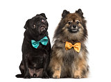 Black pug Pug with bow tie, isolated on white