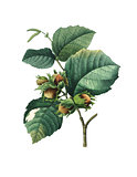 Hazel tree or Corylus maxima | Antique Flower Illustrations