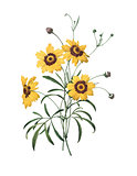 Calliopsis | Redoute Flower Illustrations