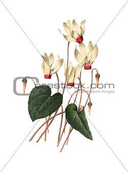 Cyclamen | Redoute Flower Illustrations
