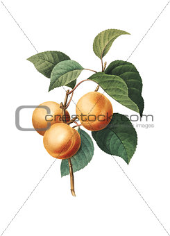 Apricot | Antique Flower Illustrations