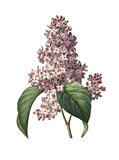 Lilac| Redoute Flower Illustrations