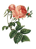 Rosa centifolia | Redoute Flower Illustrations