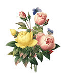 Rosa Lutea and Rosa indica | Redoute Flower Illustrations