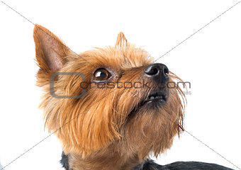 cute yorkshire terrier dog on white background