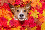 autmn fall leaves dog