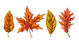 Various yellow and orange autumn leaves isolated on white background. Vector