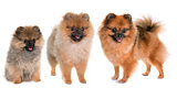 three pomeranian spitz