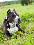 Black American Staffordshire Terrier dog outside