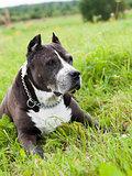 Black American Staffordshire Terrier dog outside