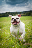 American Bulldog dog