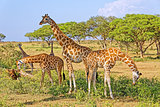 Giraffes Feeding in Natural Habitat