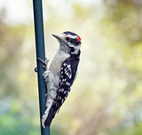 downy woodpecker perching