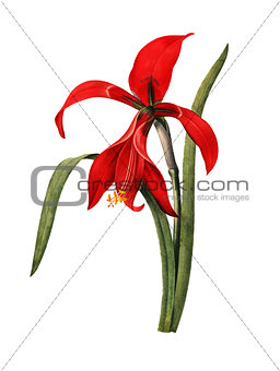 Amaryllis | Antique Flower Illustrations