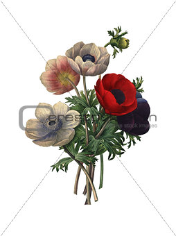 Anemone simplex | Redoute Flower Illustrations