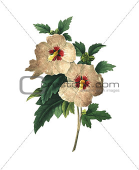 Althaea frutex | Antique Flower Illustrations