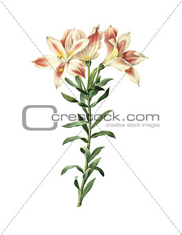 Alstroemeria pelegrina | Antique Flower Illustrations