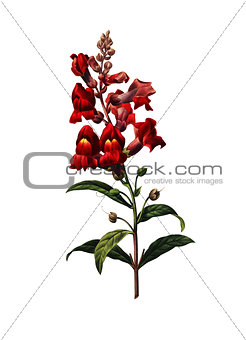 Antirrhinum | Antique Flower Illustrations