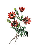 Anemone stellata | Antique Flower Illustrations
