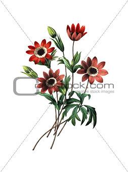 Anemone stellata | Antique Flower Illustrations