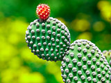 Prickly pear cactus close up with fruit in red color, cactus spi