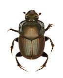 Dung Beetle Onthophagus on white Background  -  Onthophagus illyricus (Scopoli, 1763)
