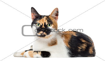 American Polydactyl lying, 14 months old, isolated on white