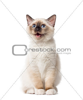 Kitten Birman sitting and mewing, 3 months old, isolated on whit