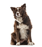 Border Collie sitting and looking away, 7 years old, isolated on