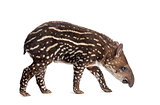 Side view of a young South american tapir sniffing, isolated on