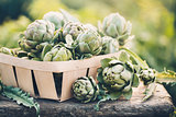 Freshly harvested artichokes in a garden