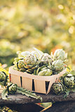 Harvest of Artichokes.