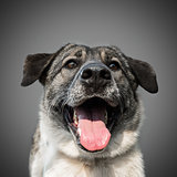 cute funny black dog stuck out his tongue and smiles, posing on grey background