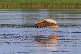 white pelican (pelecanus onocrotalus)