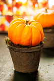 Tiny pumpkins in flower pots