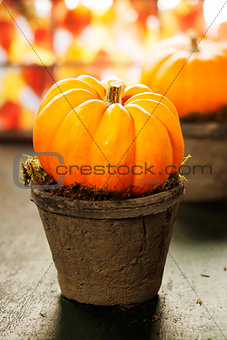 Tiny pumpkins in flower pots