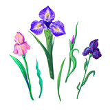 Ornate flowers for spring or summer design, greeting card with Irises elements for your design